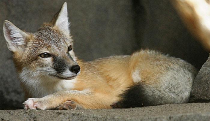 swift fox