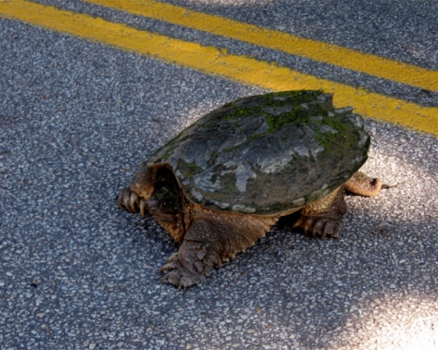Snapping turtle on the road