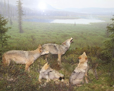 Eastern wolves in Algonquin Public Park exhibit