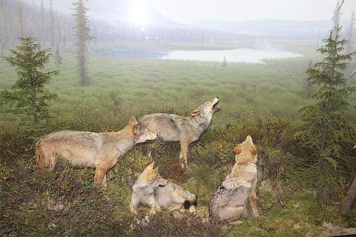 Eastern wolves in Algonquin Public Park exhibit