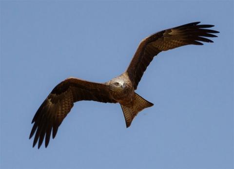 Black Kite (bird)